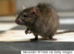Quatre millions de rats