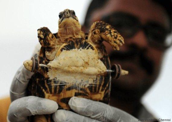 tortue avec roues