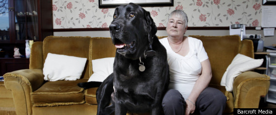 Britain Biggest Dog