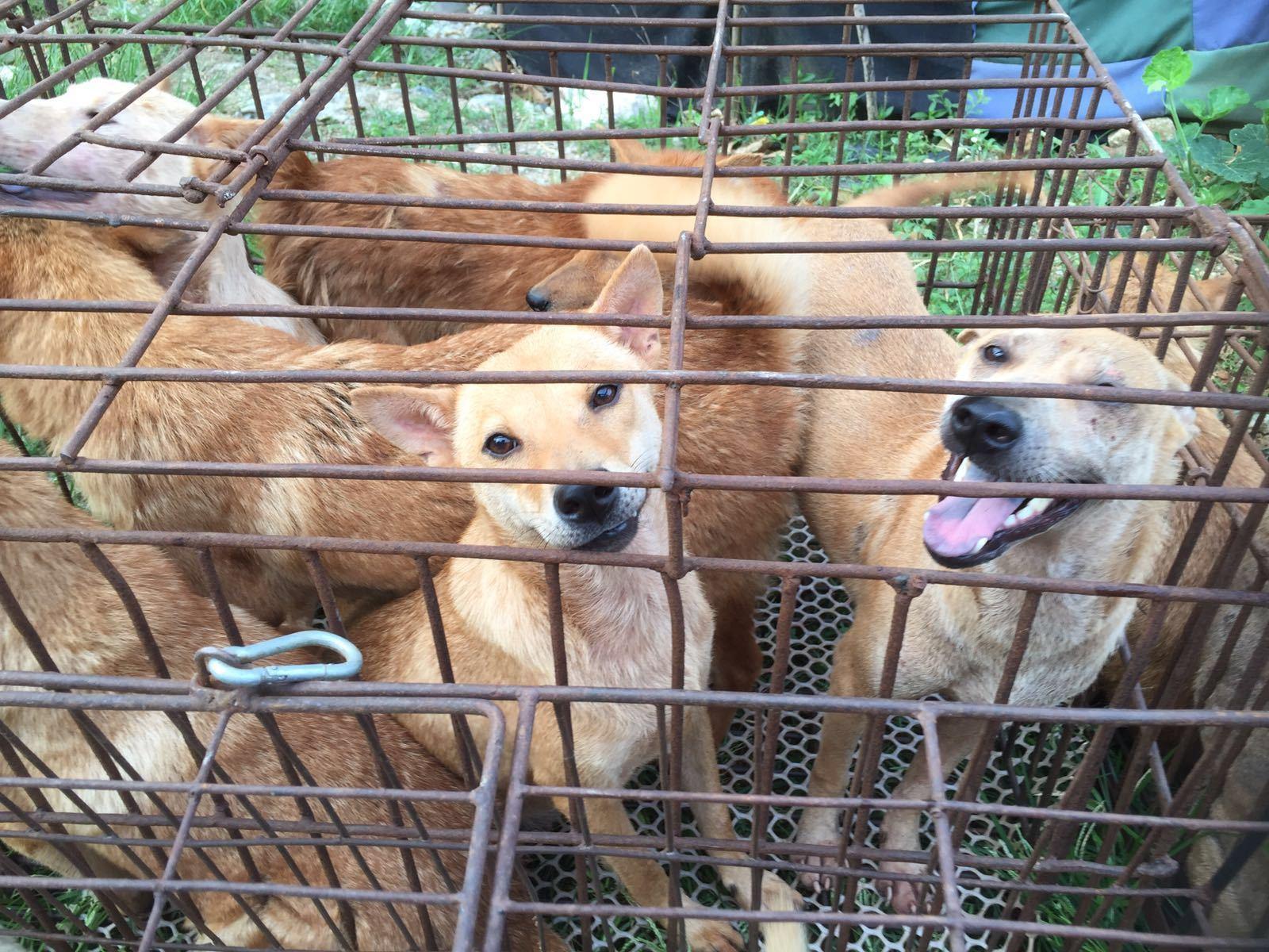 dogs yulin fest