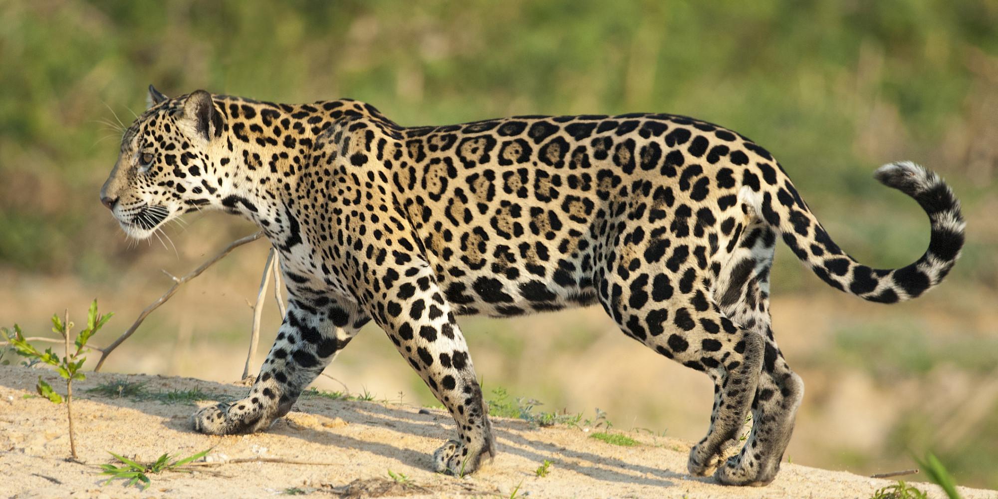 Jaguar''s Passage to India, Marketing Management