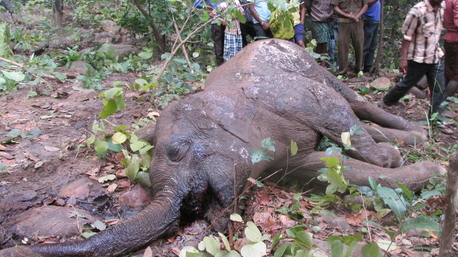elephant deaths odisha