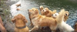 GOLDEN RETRIEVERS NANAIMO RIVER