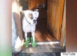 크록스를 신은 개와 산책을 나서다 (영상)