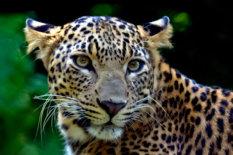 Leopard | Pic: Dethan Punalur