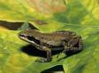 La protection d'une grenouille inquiète les constructeurs québécois