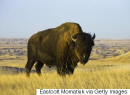 Studio 8 accusé d'avoir tué des bisons pour le film «The Solutrean»