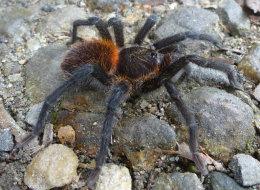 Mauvaise nouvelle pour les arachnophobes, on a découvert une nouvelle espèce de mygale