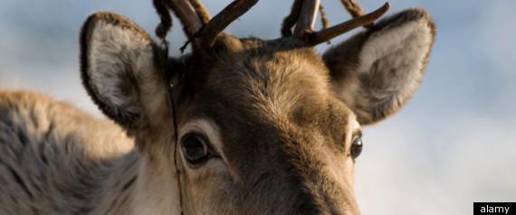R Reindeer Real Rudolph The Red Nosed Reindeer
