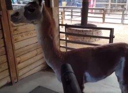 L'amour de ce lama pour les souffleurs à feuilles vous fera sourire (VIDÉO)