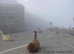 Des lamas aux premières loges du Tour de France