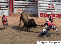 Study Debunks Common Myth About Calgary Stampede's Bulls
