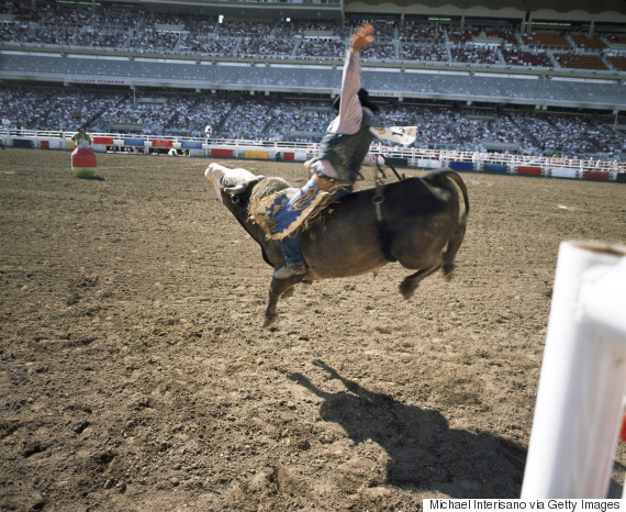 calgary stampede bull