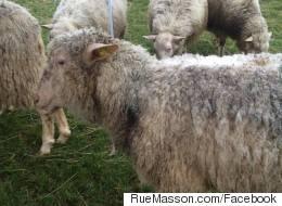 Huit moutons chargés de brouter le gazon à Rosemont