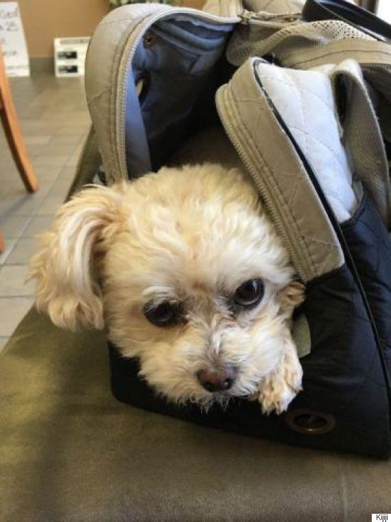 coco poodle stolen burnaby