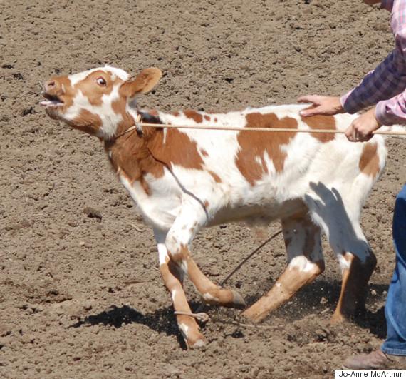 calf roping calgary stampede