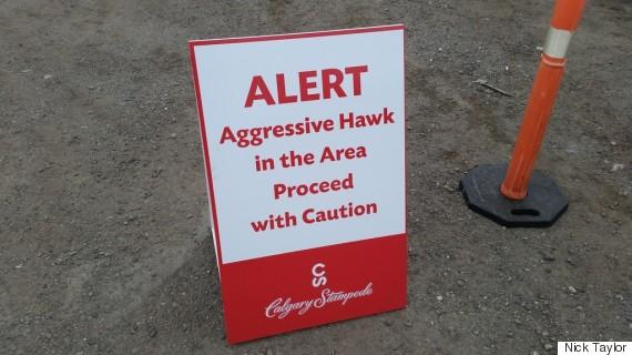 calgary stampede hawk