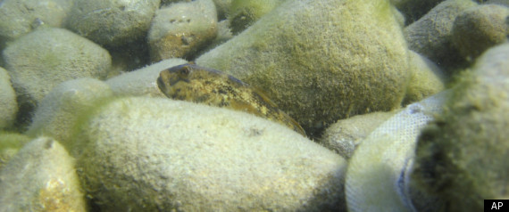 ROUND GOBY FISH GREAT LAKES