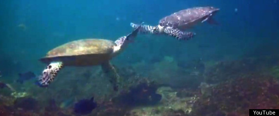 Turtles' Underwater High Five The pair then give a perfectly timed high five before spinning around and continuing to swim together.
