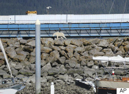 Mountain Goat Drowns Trying To Escape Crowds Taking Photos