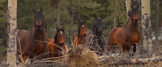 WILD HORSES ALBERTA