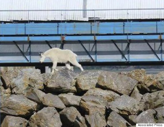 alaska goat