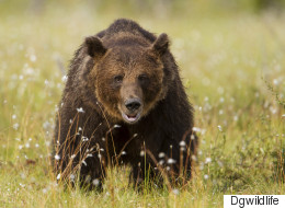 Second Alberta Bear Attack Sends Victim To Hospital