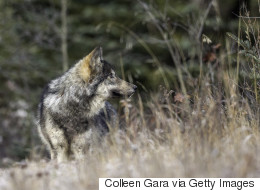 Messy Campers Are Hurting Alberta's Wolves