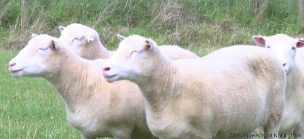 Les scientifiques ont créé 4 clones de Dolly : voici ce qui leur est arrivé