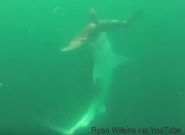 Cette vidéo montre un requin tigre s'attaquant à un requin marteau