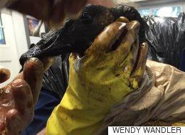 Déversement pétrolier en Saskatchewan : un grand impact sur les oiseaux