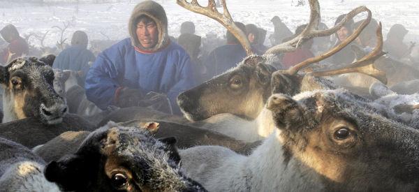 Une épidémie d'anthrax en Sibérie tue 1500 rennes avec la fonte du permafrost