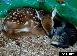 S BABY DEER AND KITTEN Large
