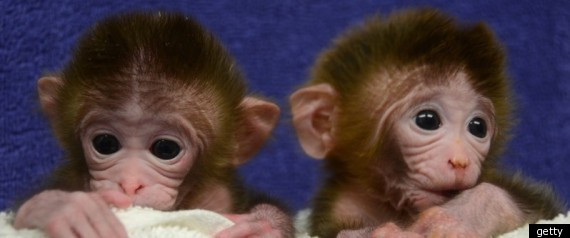 Chimera Monkeys