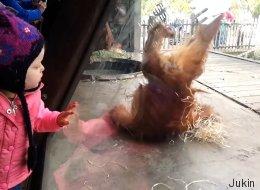 Ce bébé orang-outan a un don pour le break dance