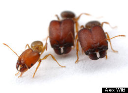 PHOTO: Scientists Make Supersoldier Ants