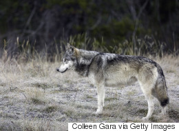 2nd Wolf Killed In Banff National Park
