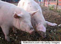 La SPCA dénonce le Festival du cochon de Sainte-Perpétue