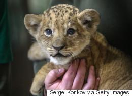 Un lionceau dans un restaurant inquiète les défenseurs des animaux