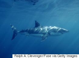 Plusieurs requins ont été aperçus au Canada