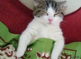 Les chats sont plus mignons quand ils dorment comme des humains (VIDÉO)