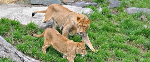 GRANBY ZOO LION
