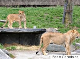 La gardienne attaquée par une lionne au Zoo de Granby va bien
