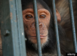 WATCH: Chimp Research: The Beginning Of The End?