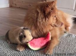 Ce chien et ce cochon d'Inde partagent le melon d'eau de l'amitié (VIDÉO)