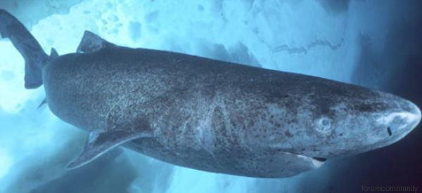 Questo squalo ha un record che nessun vertebrato ha mai toccato