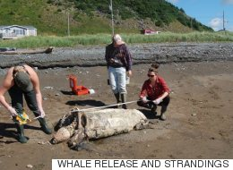 Une tortue menacée tuée par un sac de plastique