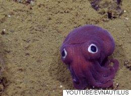 캘리포니아 연안에서 정말 귀여운 오징어가 발견됐다(동영상)