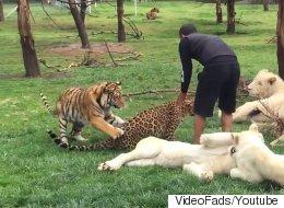 Un tigre sauve un homme d'une attaque de léopard (VIDÉO)