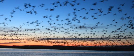 MIGRATORY BIRDS CANADA